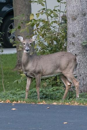 10.14.18 Deer in the Yard