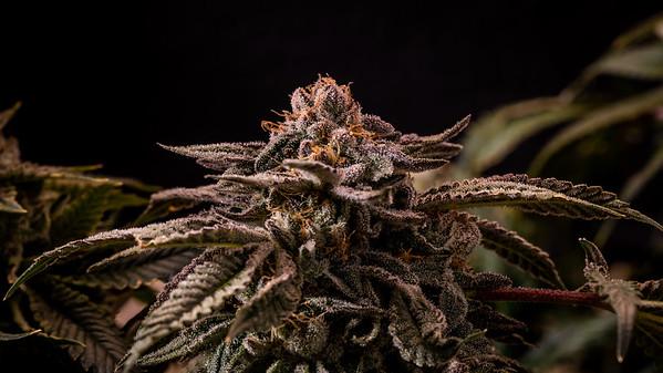 Cannabis 2 Trichome- Macro  Mimosa Gorrilla Glue