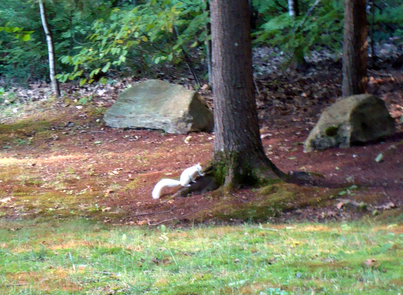 2010-09-11 @15-21-40 The Real White Squirrel _001 DSC08675.jpg