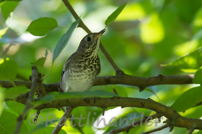 Gray-Cheeked Thrushes