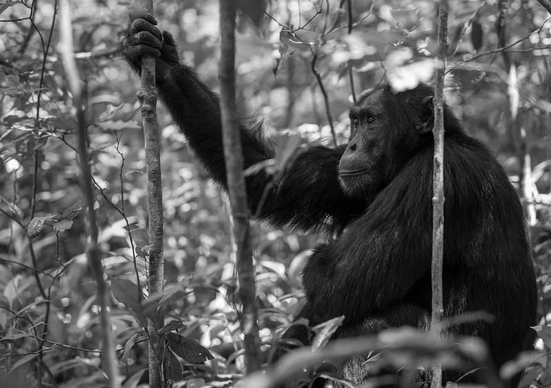 Uganda_T_Chimps-449.jpg