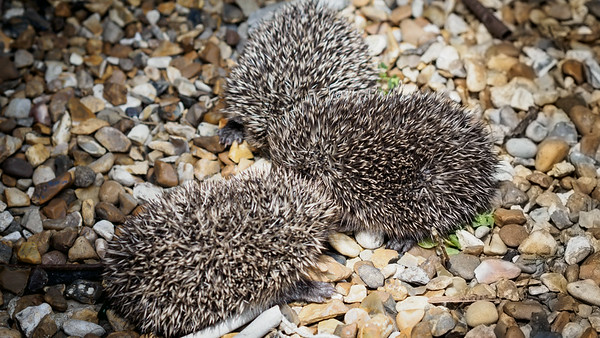 Hedgehogs July 2014