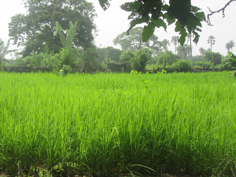 030_Banjul. Kachically Crocodile Poll and Museum. Rice Paddies.JPG