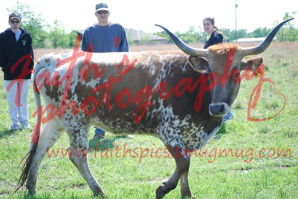 Cows 041308