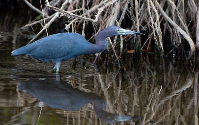 Birding Florida 2017