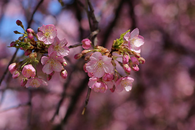 Early Blossoms