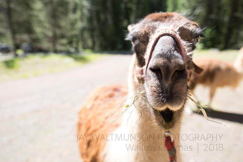 Jay Waltmunson Photography - Wallowa Llamas Reunion - 062.jpg