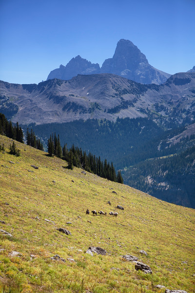 A pack string of horses and mules carry camp and food on the backside of the Tetons