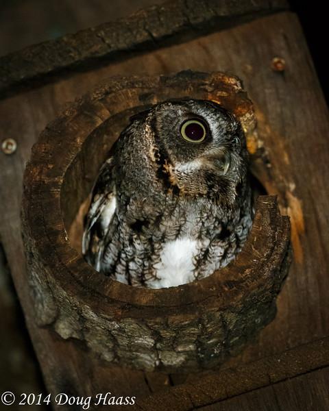 Gray Morph Eastern Screech Owl awaiting its mate