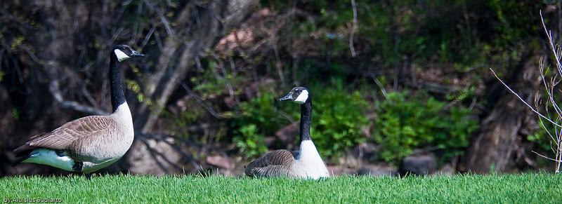 Canada Goose pair.