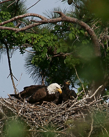 Baytown Eagles - Chicks at 6/7 Weeks on 040910