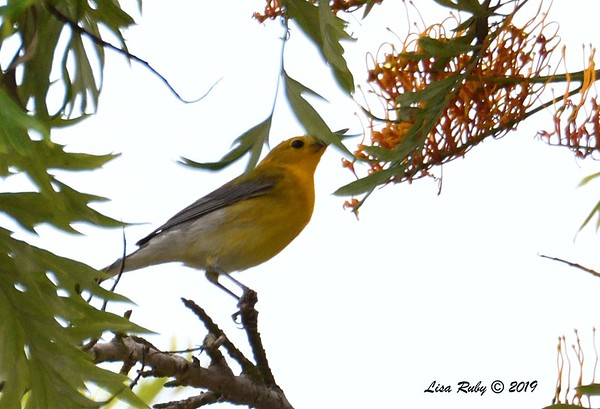 Point Loma Prothonotary Warbler - 6/2/2019