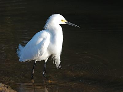 Herons, Egrets, Ibis, Storks and allies