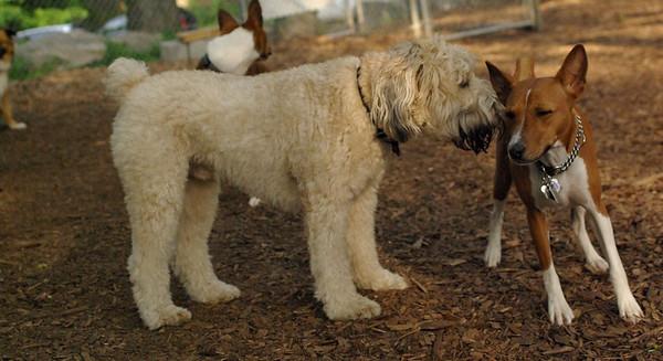 july 1 resize::Bailey (wheaton), Chloe (basenji)