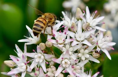 Jade Plant Flowers & Honey Bees-1/16/18