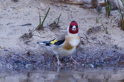 Introduced Birds