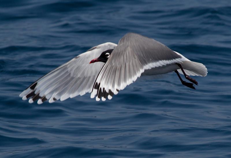 Franklin`s Gull San Diego Waters 2011 05 06-11.CR2