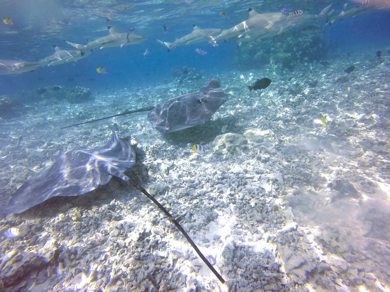 Stingrays - Raanui Snorkel Trip - Bora Bora