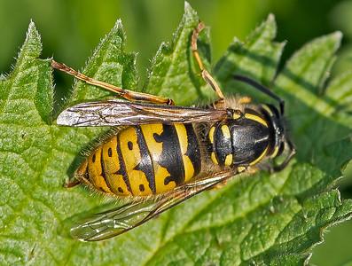 Vespula vulgaris, (Queen)