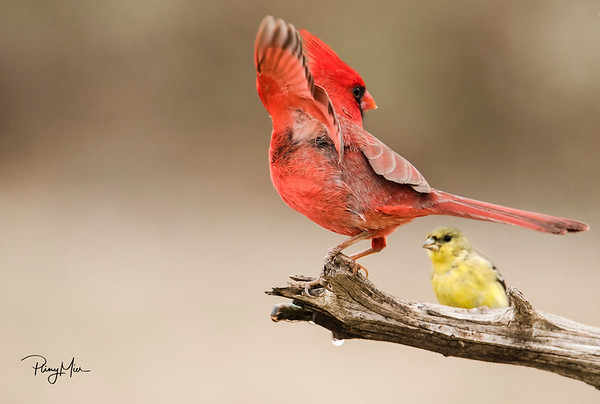 Cardinal Goldfinch.jpg