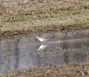 Spotted Redshank - Goose Pond FWA, Ind