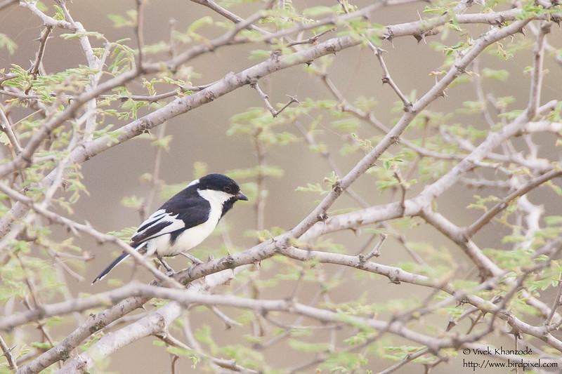 White-winged Tit - Kutch, Gujrat, India