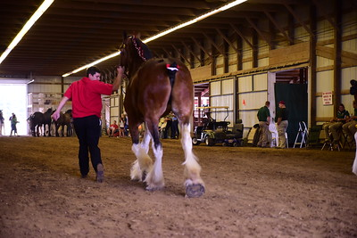 Clydesdale Gelding or Mare 4