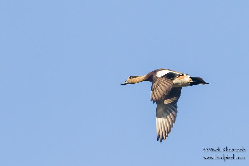 American Wigeon in flight - Bird Haven Ranch, Butte City, CA, USA