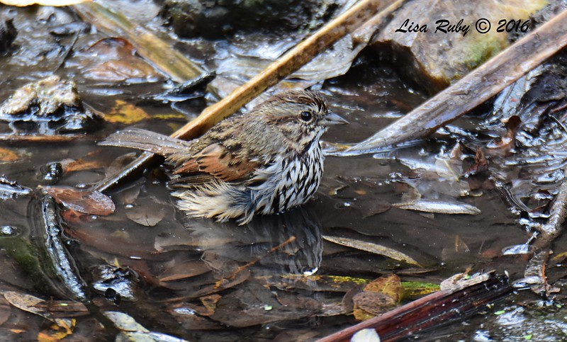 Song Sparrow  - 10/23/2016 - Famosa Slough