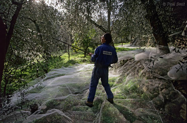 [ITALY.LIGURIA 9987]  'Olive harvest.'  Near the Ligurian village of Torri olives are being harvested. The nets catching the olives resemble morning fog drifting between the tree trunks. Photo Paul Smit.