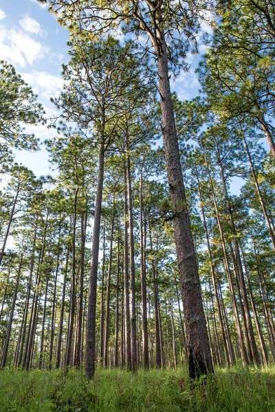 Long Leaf Pine Stand