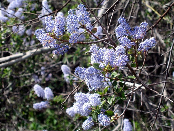 3/14/08 Ceanothus spp. Junction of paved road and 4WD Forest Service Road from Tenaja Trail, Cleveland National Forest, Riverside County, CA