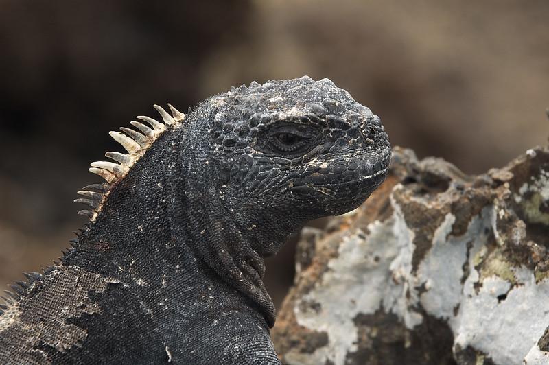 Marine iguana head close-up   (Dec 10, 2005, 01:57pm)