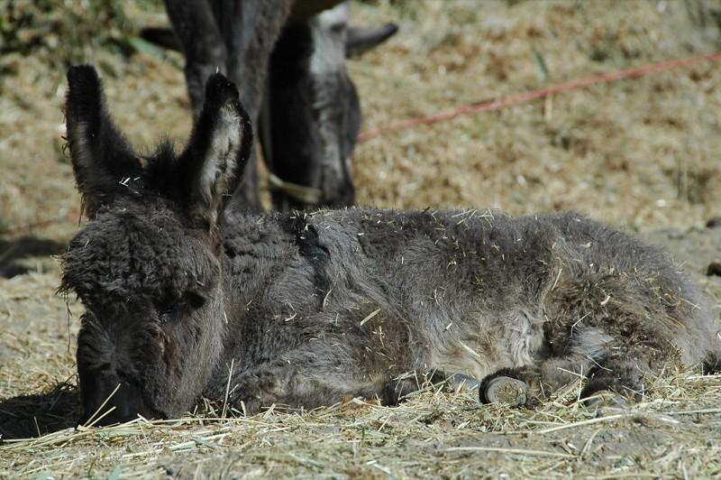 Baby Donkey (Ishak) - Langar, Tajikistan