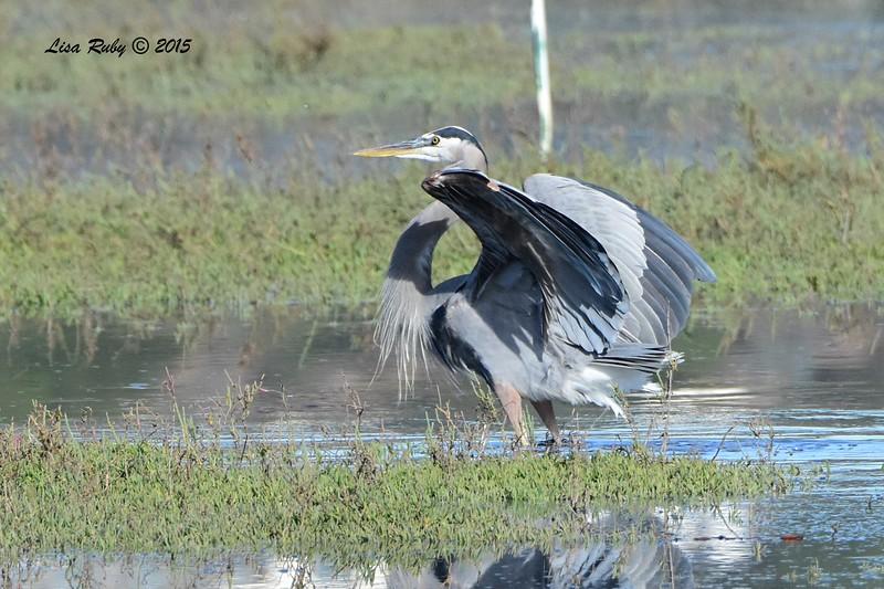 Great Blue Heron - 11/12/2015 - San Elijo Lagoon - Rios Road