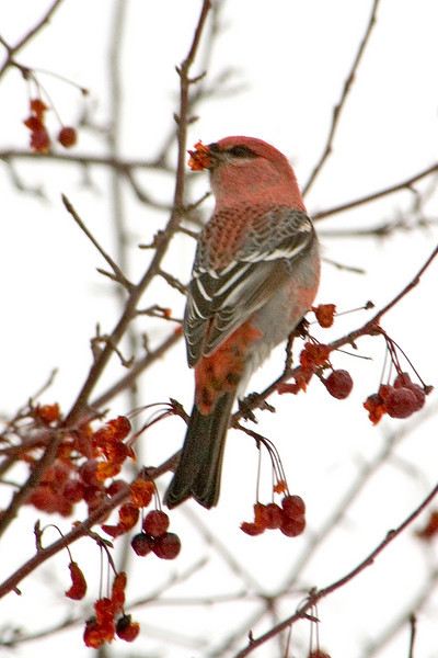 Grosbeak - Pine - male - Coleraine, MN