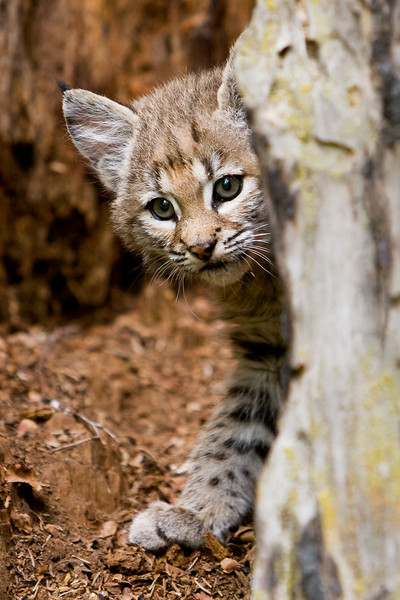 A curious looking bobcat kitten peers out from inside a hollow tree stump.