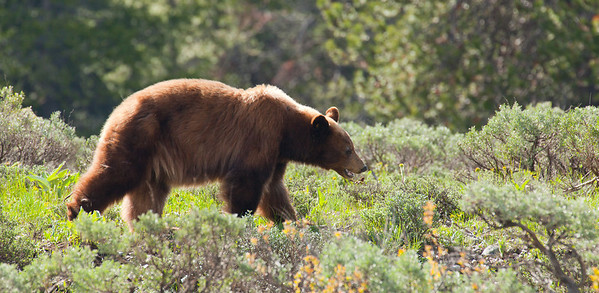 Black Bear and Buff - GTNP 2011