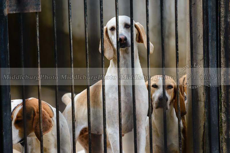 Puppies Mr. Stewarts Cheshire Foxhounds