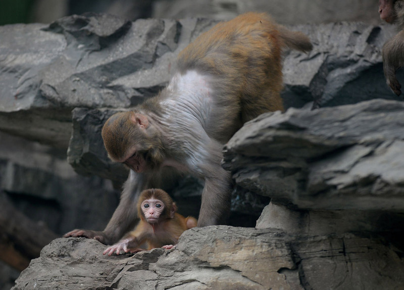 . A baby Asian macaque monkey with its mother in their enclosure at the Beijing zoo on June 24, 2013.    AFP PHOTO/Mark RALSTON