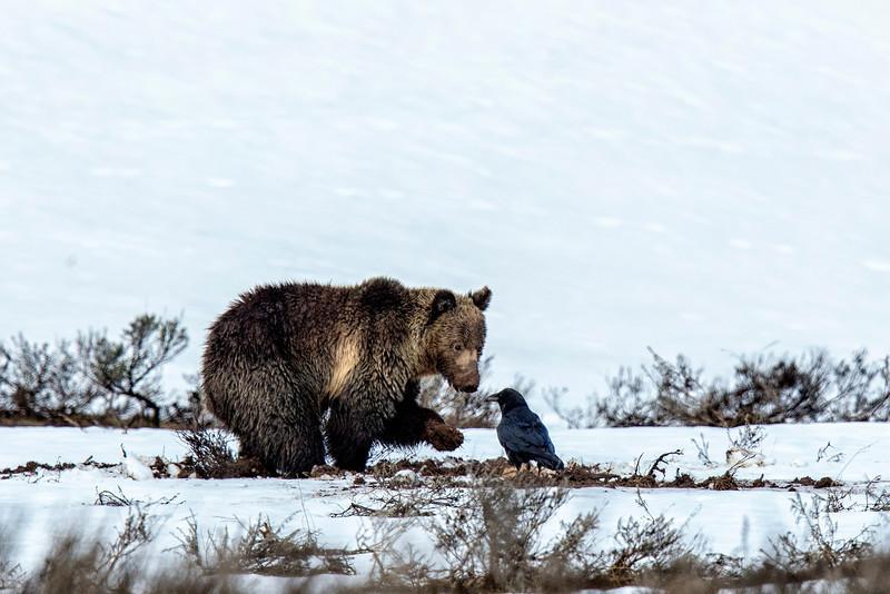 Yellowstone_May_2014_FH0T3884.jpg