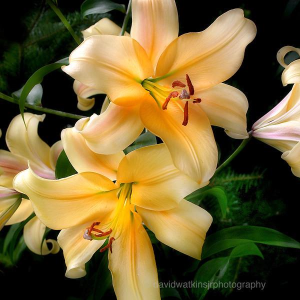 O.Lily 1.jpg