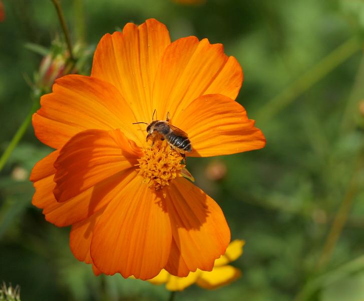 2334 Bee on Cosmo.jpg