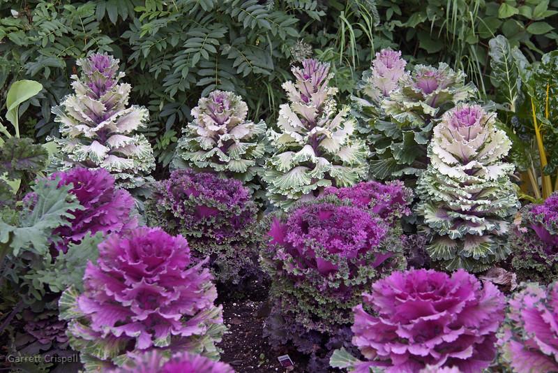 Flowering Cabbage... er Kale?