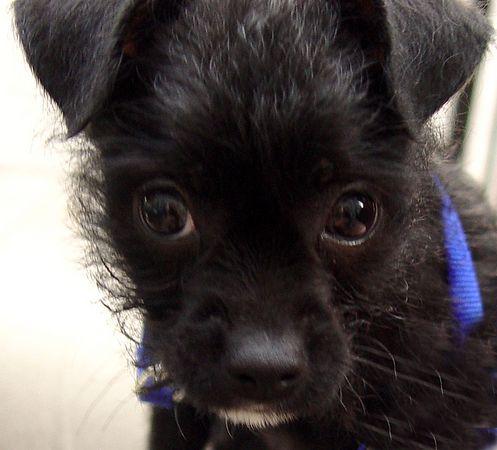 Monty  poodle x boston terrier
