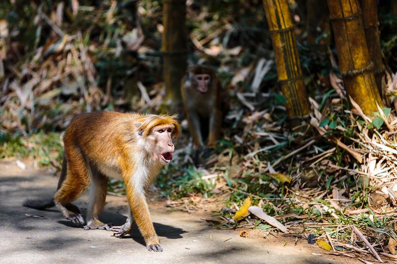 A monkey in Kandy's Royal Botanical Gardens