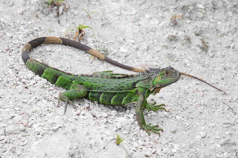 Green Iguana Lake Worth FL 2020-1.jpg