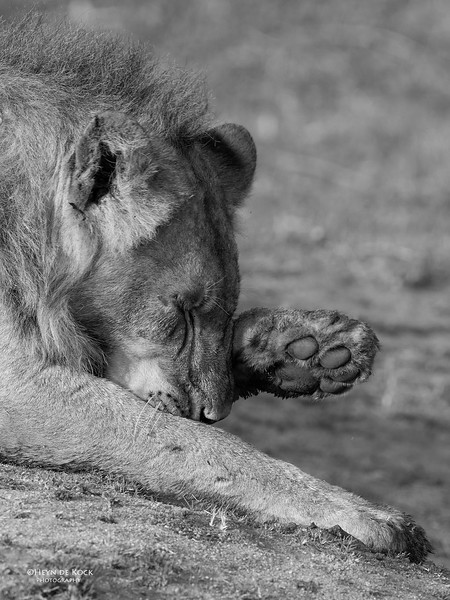 African Lion, b&w, Sabi Sands (EP), SA, Oct 2016-36.jpg