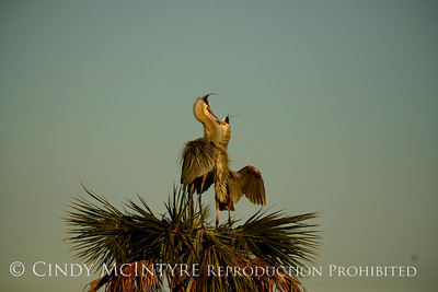 Great Blue Herons Nesting - Viera Wetlands