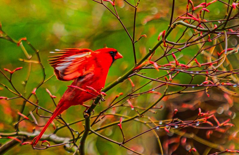 Kind of CardinalsIMG_0001_HDR-2.jpg